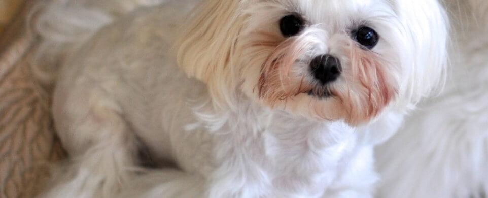 Macchie Da Lacrimazione Nel Cane Cause E Rimedi Toelettatori E