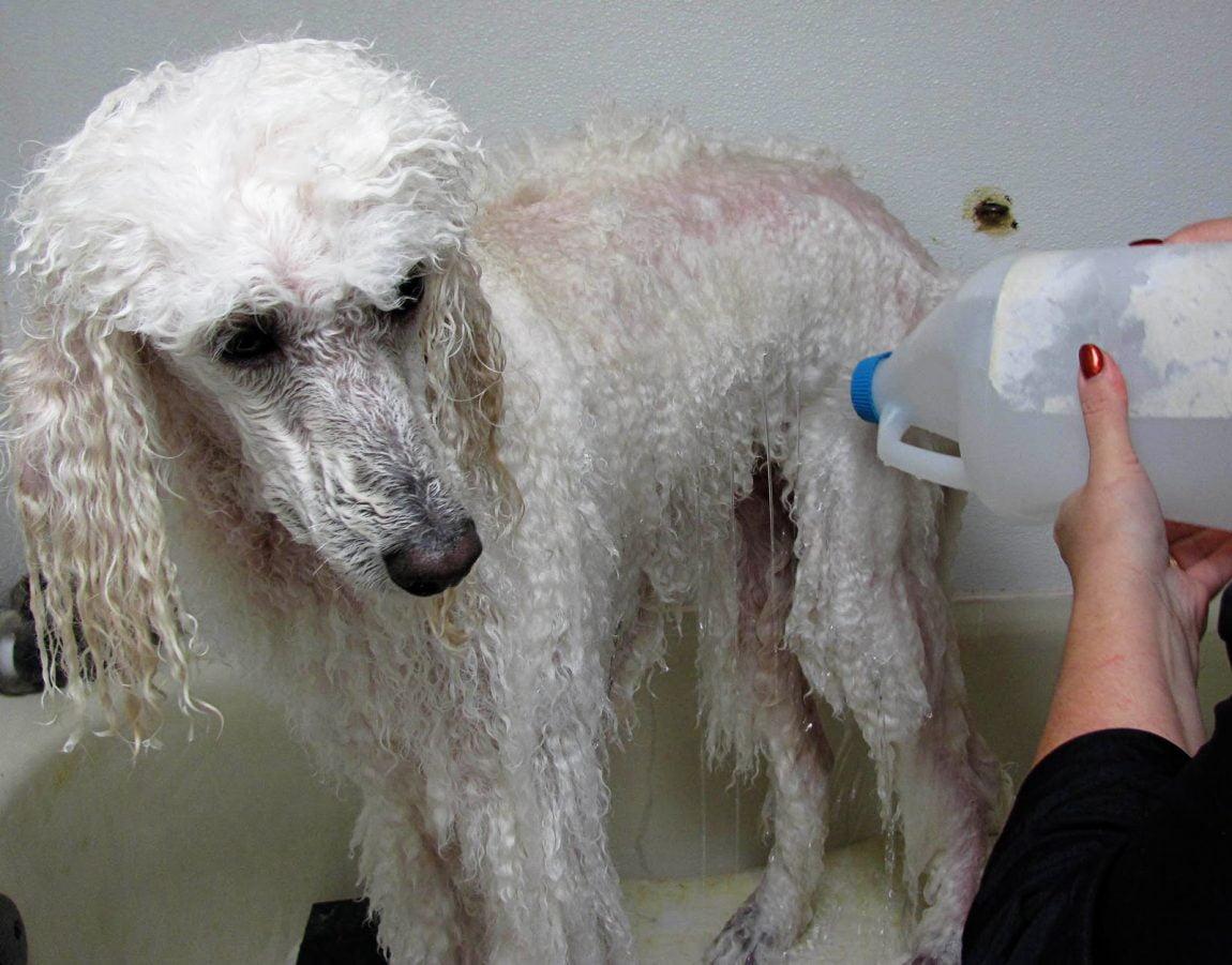 Se il cane è a disagio e non gradisce l'acqua, possiamo lavarlo con uno shampoo per cani a secco