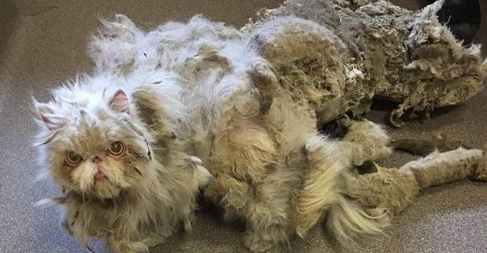 Ai toelettatori capitano spesso casi disperati, come questo gatto dal pelo infeltrito; una galleria degli orrori senza fine