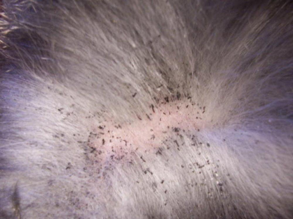 La galleria degli orrori; cani con il mantello invaso dai parassiti