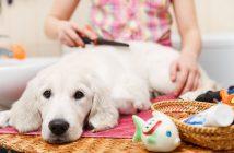 Toelettatore Toelettatura Cane Labrador